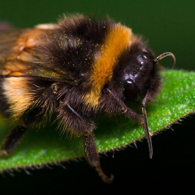 Шмели, или земляные пчёлы (Bombus)