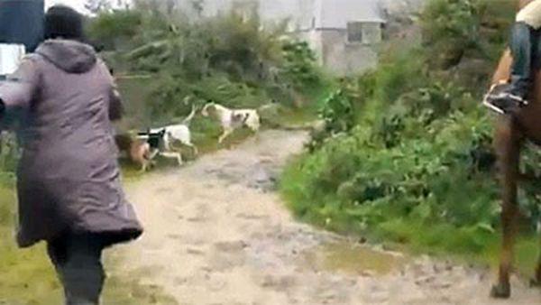 Защитница животных спасла лису от охотничьих собак