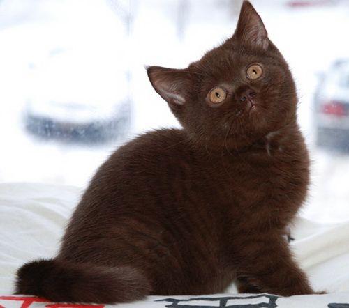 mačići boju čokolade