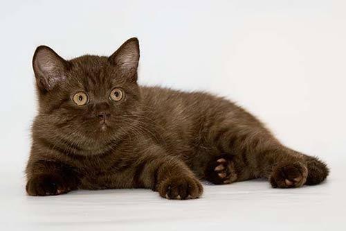 котята шоколадного окраса