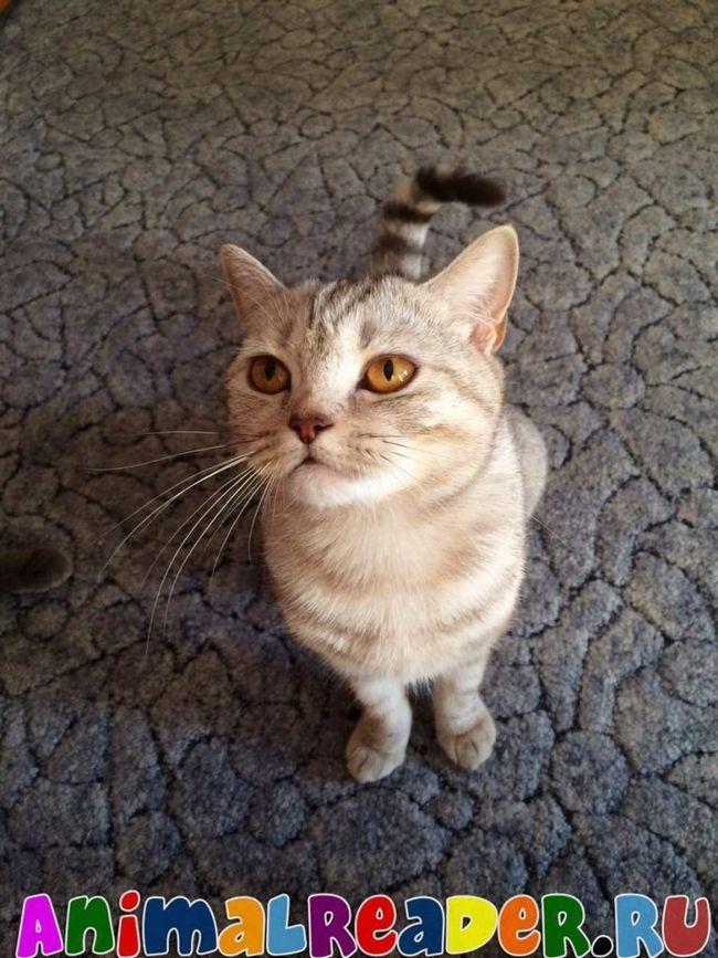 Škotski pryamouhie mačka (Škotski uspravnih ušiju).