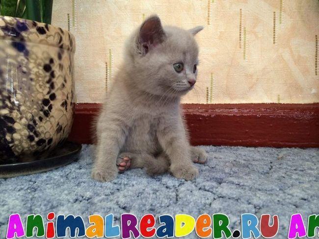 Neobična mačka, rezultirajući parenje Škotski fold mačka pasmina (plava boja) i mačka rađa Škotski Ravno.