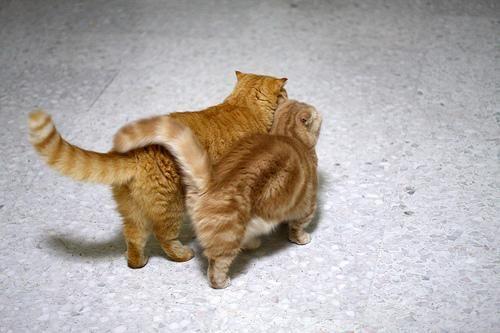 Škotski fold mačka