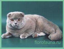 Shotlandskayavislouhaya mačka