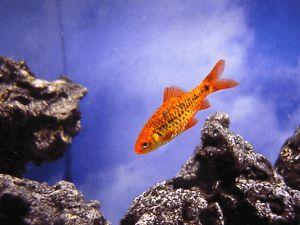Шуберта барбус — миролюбивая рыбка