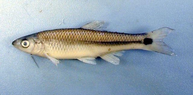 Vrsta riba Cyprinella venusta pate od spoljašnje buke i prisilnih