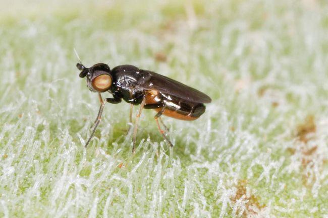 Frita fly (Oscinella).