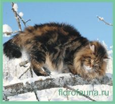 Сибирскаякошка.