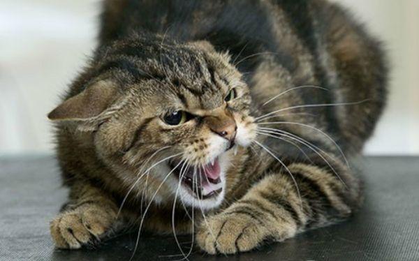 Klamidiju kod mačaka opasnost za ljudsko
