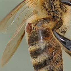 Симптомы, диагностика и лечение пчел от варроатоза, меры профилактики