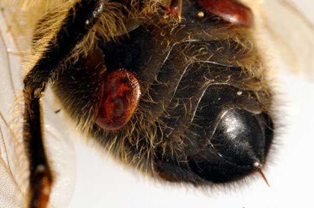 Roztoče Varroa na včely
