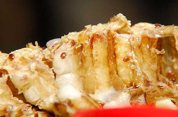 Varroa roztoče v uzavretých buniek