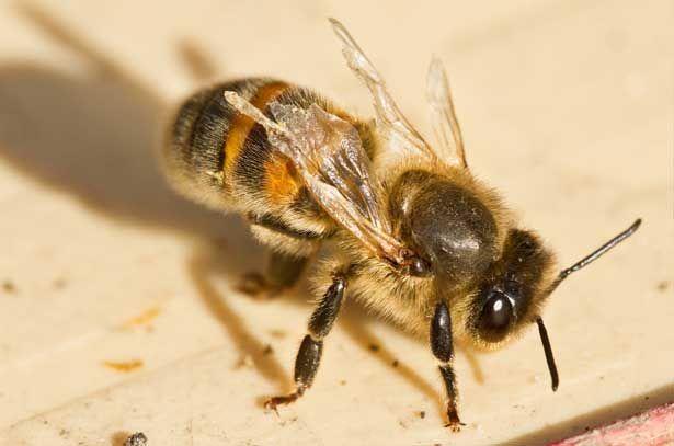 Chyby v štruktúre včiel ovplyvnenej roztoče Varroa