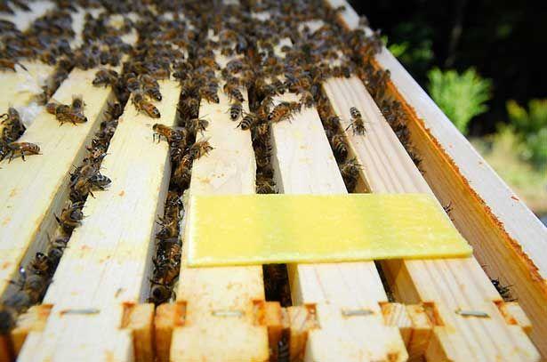 Prúžok tymolu v úli pre včely k boju varrovtozom