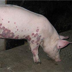 Симптомы и методы профилактики классической чумы свиней