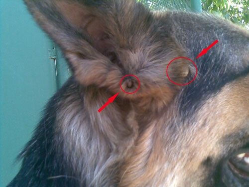 клещ у собаки в ухе
