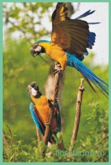 Сине-желтыйара или арарауна / ara ararauna