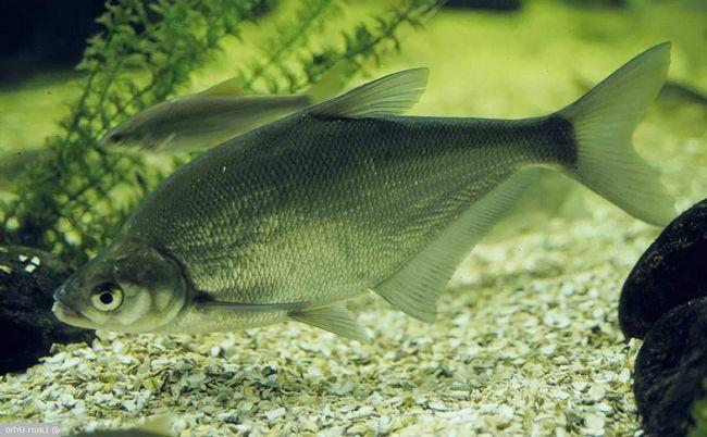 Riba plava deverika (ballerus ballerus).