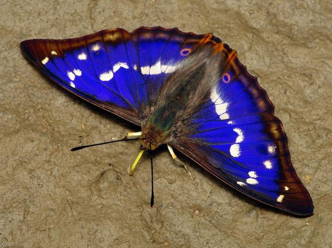 Переливница ивовая - ярко-синяя бабочка.