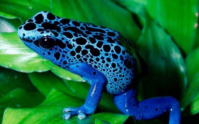 Голубой древолаз - ядовитая лягушка.