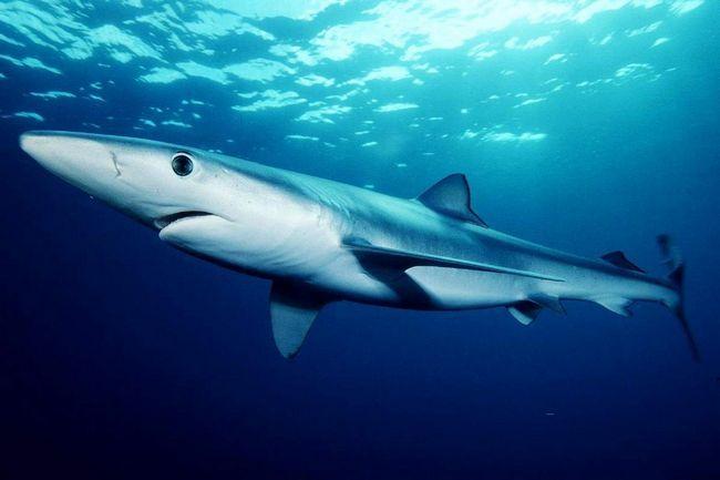 Синяя акула (Prionace glauca).