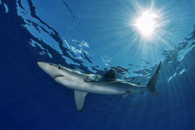Питается голубая акула рыбой и беспозвоночными.