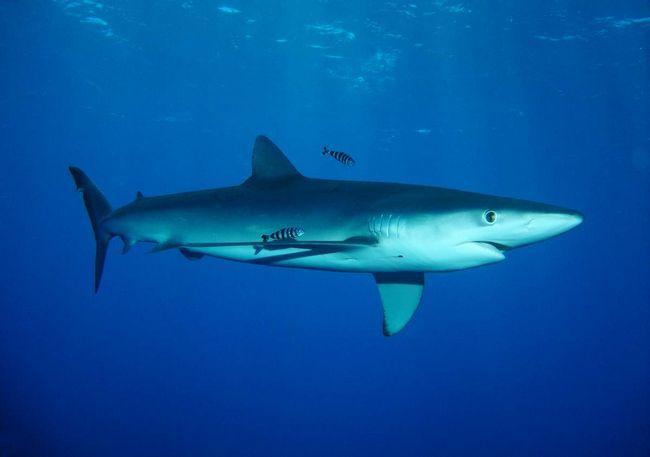 Мясо синей акулы ценится на продовольственном рынке и в кулинарии.