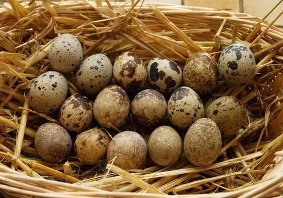 Ouă de prepeliță în cuib