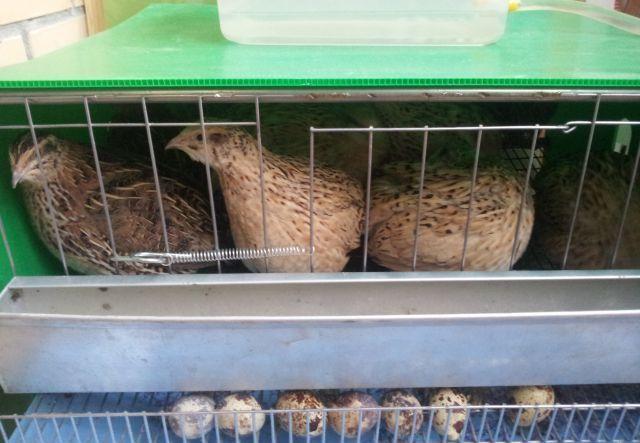 păsări domestice într-o cușcă
