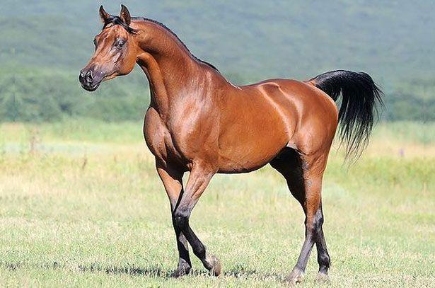 Arabian rasa konja stoji u polju