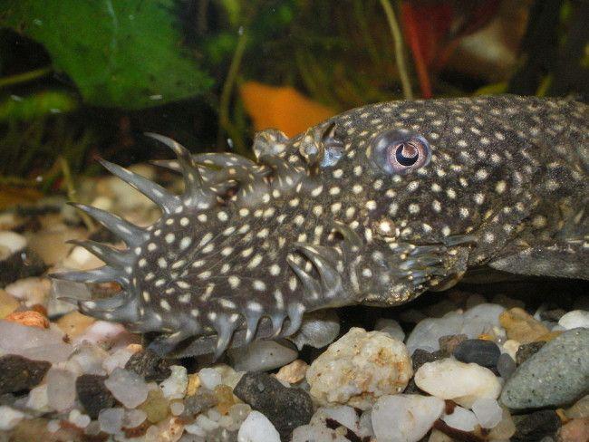 Сколько живут в аквариуме сомики