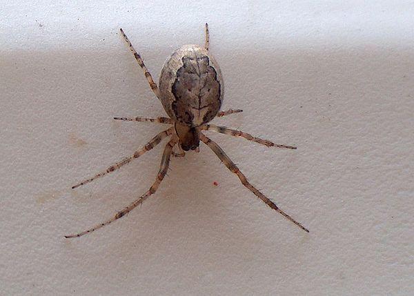 Spider Zygiella x-notata