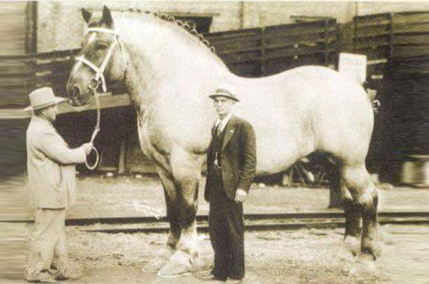 Shire pasmina konja po imenu Samson