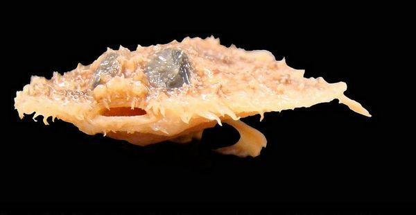 Jeden z nově objevených druhů - fish Halieutichthys intermedius, objevil v roce 2010 ve vodách Mexického zálivu