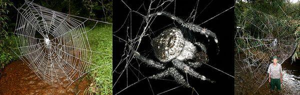 Jiný pohled 2010 - Spider Caerostris darwini Madagaskaru, průměr opletení sítě 25 metrů
