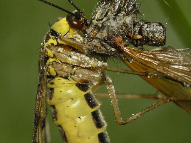 Скорпионница обыкновенная (лат. Panorpa communis)