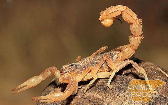 Один из видов скорпионов