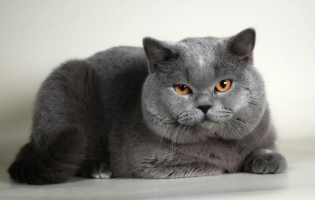 top-5-najladniejszych-metanisanje-rasowych-kot-brytyjski-mačka