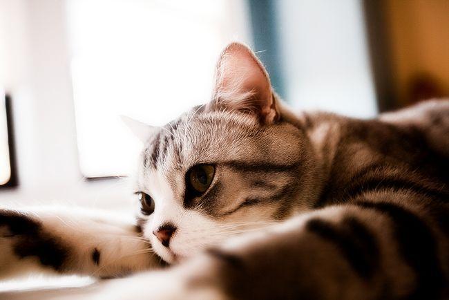 CATS-PICTURES.ORG _-_ 4768-3000x2000-škotski + straight-tom + thai-solo-beli + kosa-laganje-highres