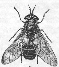 Chrysops spp.