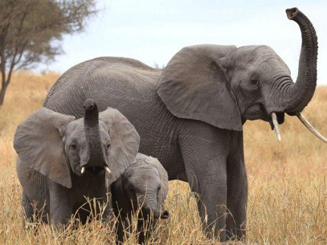 Слоны обладают лучшим в мире обонянием