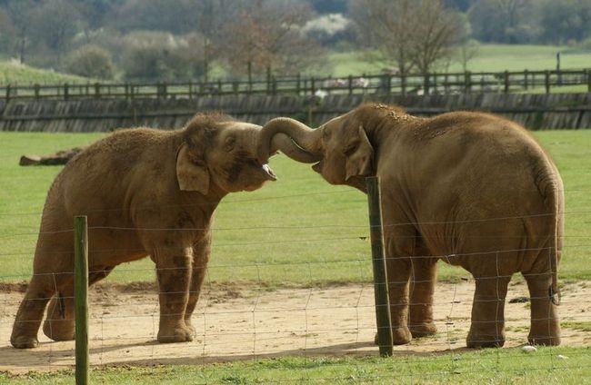 Slonovi utješiti jedni druge u stresnim situacijama