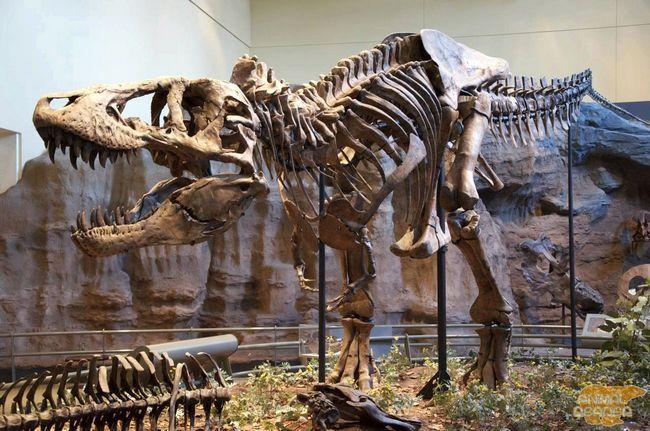 Tyrannosaurus (Tyrannosaurus), T-Rex - najväčší dravec dinosaurov.