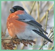 Bullfinch / Pyrrhula Pyrrhula