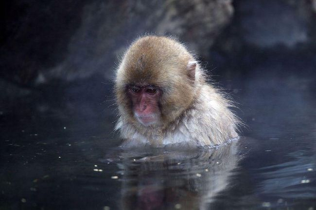 Sněhová opice v horkých pramenech Hell Valley