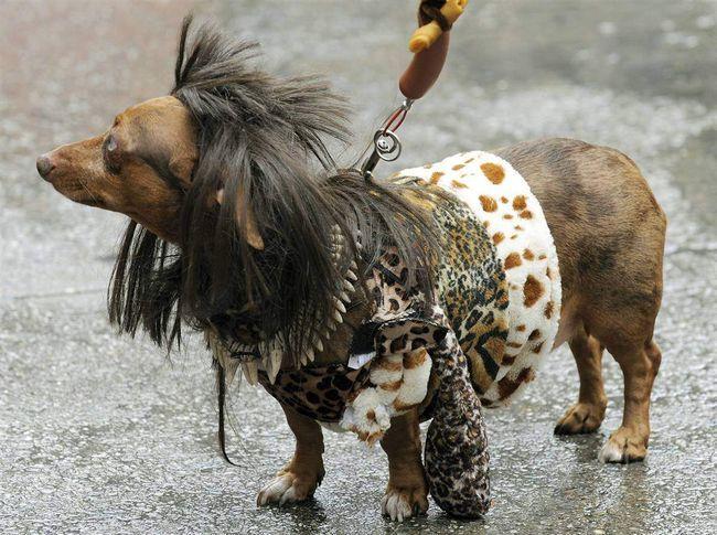 Patuljasti Bosco caveman kostim