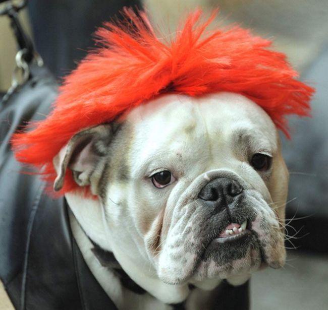 Bulldog Leo