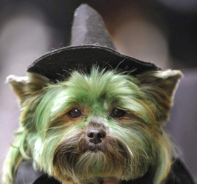 Jorkširski terijer po imenu Piti u vještice kostimu