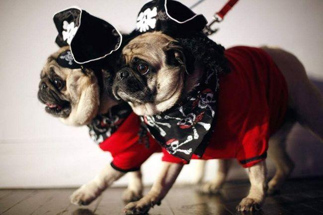 Pugs u kostime pirata