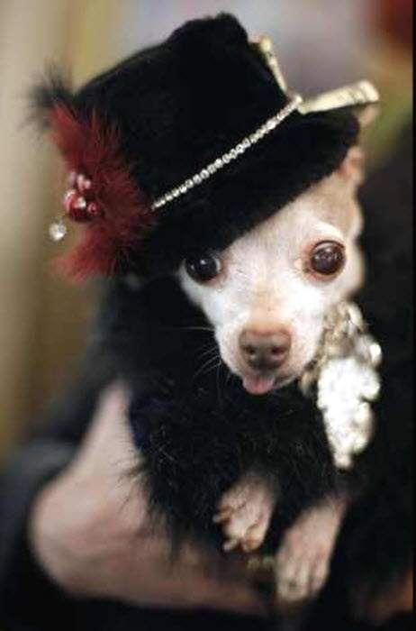 Chihuahua pas na maskenbal